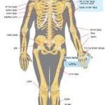 Zygote Body 3D Anatomy Online Visualizer | Human Anatomy 3D