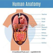Explore Human Anatomy, Physiology, and Genetics | Innerbody